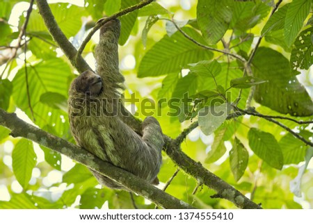 Pale-throated sloth (Bradypus tridactylus) is a species of three-toed sloth that inhabits tropical rainforests in northern South America.  #1374555410
