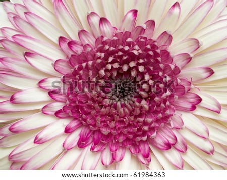 pale white and violet gerber daisy closeup, center focus