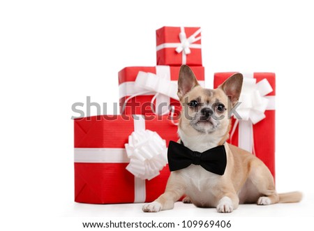 Pale yellow doggy with bow tie lies near the presents, isolated on white