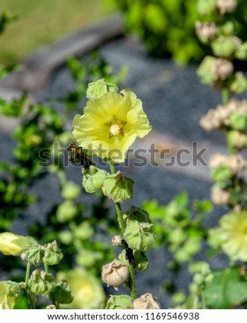 Pale yellow flowers and seeds capsules of blooming Hollyhock (Alcea Rugosa). Common names include Rugose H., Hairy H., Yellow H., Russian H.  #1169546938