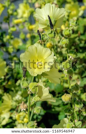Pale yellow flowers and seeds capsules of blooming Hollyhock (Alcea Rugosa). Common names include Rugose H., Hairy H., Yellow H., Russian H.  #1169546947