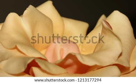 Pale Yellow Rose - Close up photograph of a pale yellow rose.  Selective focus on the center of the image. #1213177294