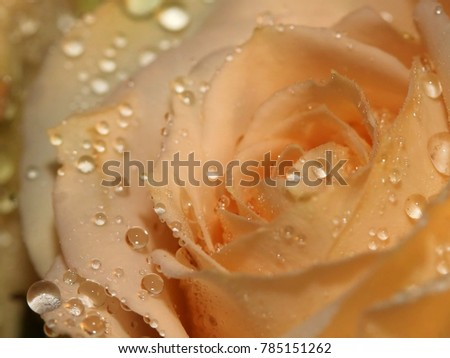 Pale Yellow Rose with Water Droplets - Close up photograph of a pale yellow rose with water droplets on it.  Selective focus on the water droplets in the center of the image.  #785151262