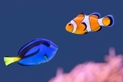 Palette surgeonfish and clown fish swimming together