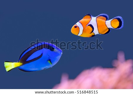 Stock Photo Palette surgeonfish and clown fish swimming together