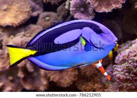 Palette surgeonfish in an aquarium (Finding Dory - fish)