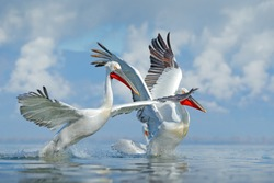 Palican with open wings, hunting animal. Wildlife scene from European nature. Bird and blue sky. Animal with long orange bill. Dalmatian pelican, Pelecanus crispus, in Lake Kerkini, Greece, Europe.