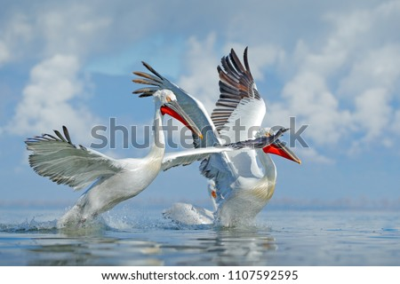 Stock Photo Palican with open wings, hunting animal. Wildlife scene from European nature. Bird and blue sky. Animal with long orange bill. Dalmatian pelican, Pelecanus crispus, in Lake Kerkini, Greece, Europe.