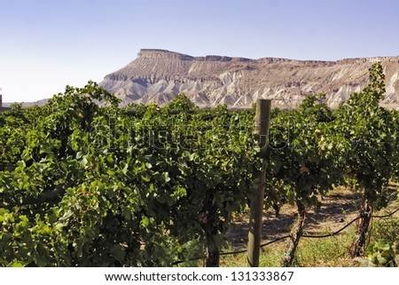 Palisades Colorado vineyard view of grape vines in front of Book Cliffs