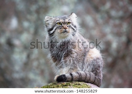 Pallas cat, or manul, lives in the cold and arid steppes of central Asia. Winter temperatures can drop to 50 degrees below zero.
