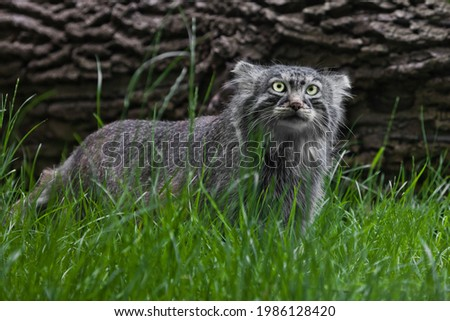 Pallas cat or Pallas cat on a background of grass and wood. fierce look Foto d'archivio ©