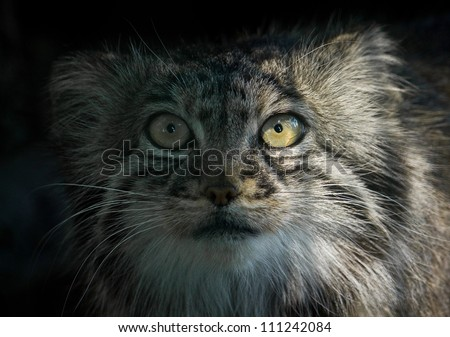 Pallas Cat Otocolobus manul close up looking at camera