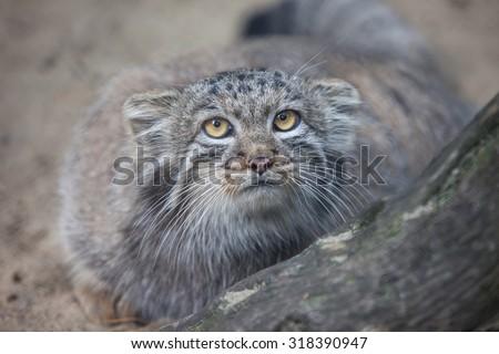 pallas\'s cat looking at camera