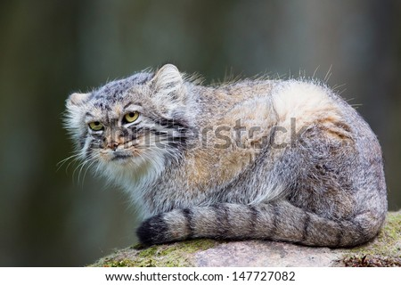 Pallas�´s cat, or manul, lives in the cold and arid steppes of central Asia. Winter temperatures can drop to 50 degrees below zero.