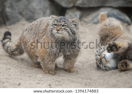 Pallas's cat (Otocolobus manul), also called manul. Close up portrait of two little cute manul kittens Foto d'archivio ©