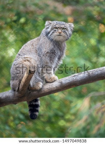 Pallas's cat (Otocolobus manul). Manul is living in the grasslands and montane steppes of Central Asia. Portrait of cute furry adult manul on the branches of a tree Foto d'archivio ©