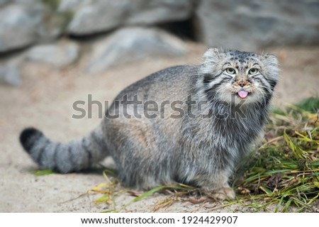 Pallas's cat (Otocolobus manul). Manul is living in the grasslands and montane steppes of Central Asia. Portrait of cute furry adult manul on the sand. Instinct to hunt Foto d'archivio ©
