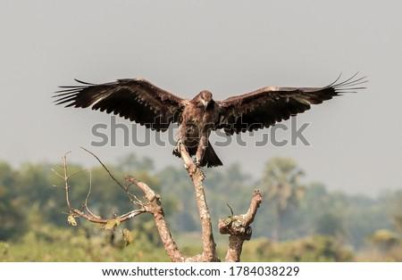 Pallas's fish eagle ( Haliaeetus leucoryphus) Pallas's fish eagle, also known as Pallas's sea eagle or band-tailed fish eagle.