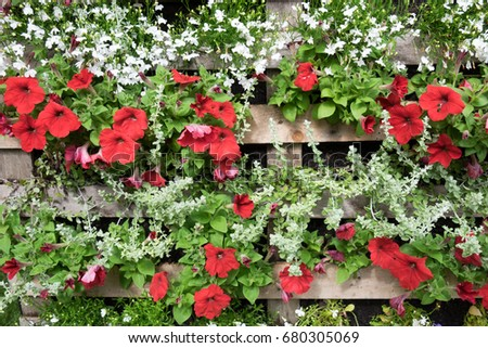 Pallet used as a planting container for red and white bedding plants including petunia and lobelia #680305069