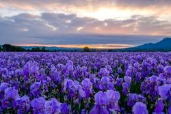 Pallida iris field in Provence, France. Sunrise.