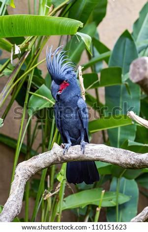 Palm Cockatoo Parrot (Probosciger aterrimus) in nature surrounding, Bali, Indonesia