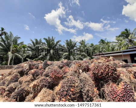 Palm fruit bunches.  One bunch has 1,000- 2,000 fruits.