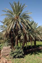 Palm grove of tafilalet in morocco