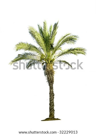 palm isolated on white background - stock photo
