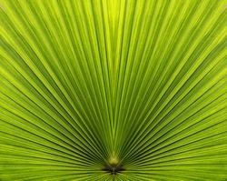 Palm leaf closeup with symmetric sides in bright green color and radiating lines