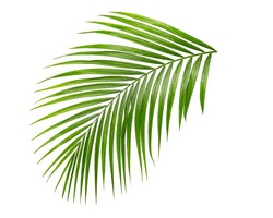 palm leaf isolate on white background clipping path
