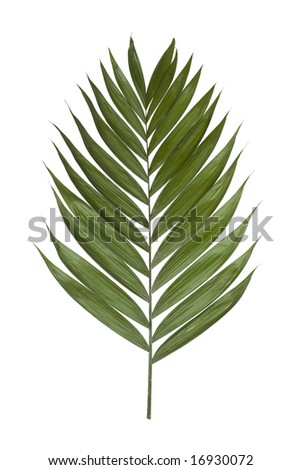 Palm Leaf Template http://www.shutterstock.com/pic-16930072/stock-photo-palm-leaf-isolated-on-a-white-background.html