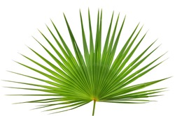 Palm leaf isolated on white background. This has clipping path.