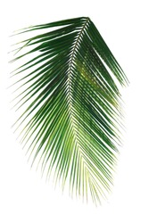 palm leaf on white background clipping path