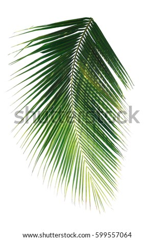 palm leaf on white background clipping path #599557064