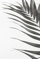 Palm leave background. Back and white photography.