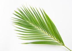 Palm leave on white background, Tropical foliage