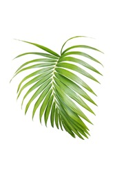 palm leaves isolated include clipping path on white background