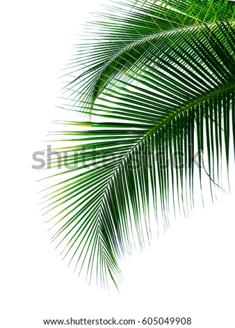 palm leaves isolated on white background #605049908