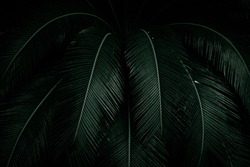 Palm leaves on dark background in the jungle. Dense dark green leaves in the garden at night. Nature abstract background. Tropical forest. Exotic plant. Beautiful dark green leaf texture.