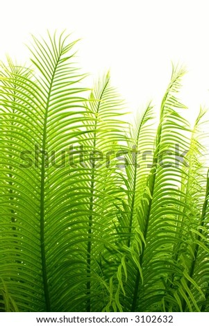 palm  leaves with  white  background