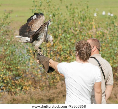 Palm-nut vulture landing on a falconer's glove