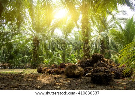 Palm oil plantation and morning sunlight #410830537