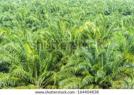 palm oil plantation grow up background