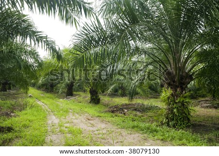 Palm Oil Plantation. Palm oil to be extracted from its fruits. Fruits turn red when ripe. Photo taken at palm oil plantation in Malaysia, which is also the world largest palm oil exporting country.