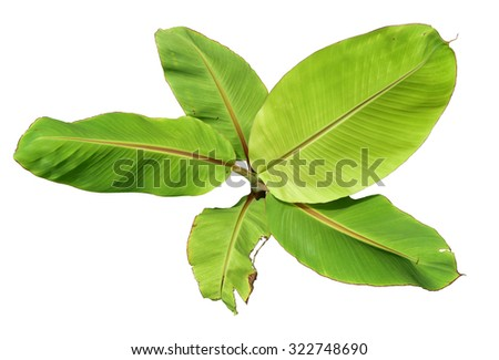 Palm Plant Tree Isolated Banana Top View On White Background This Has Clipping Path