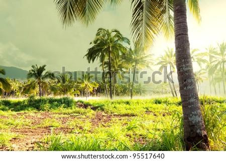 Palm plantation on Hawaii