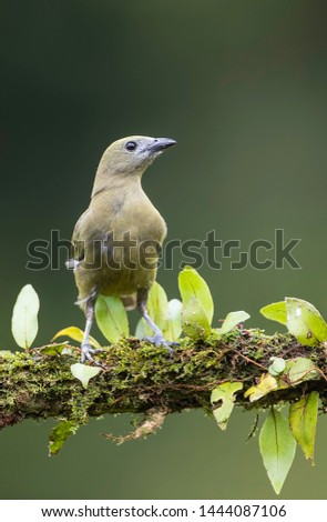 Palm tanager perfectly perched on a beautiful chosen perch #1444087106