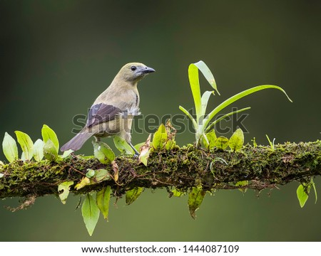 Palm tanager perfectly perched on a beautiful chosen perch #1444087109