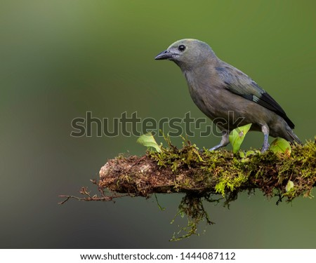 Palm tanager perfectly perched on a beautiful chosen perch #1444087112