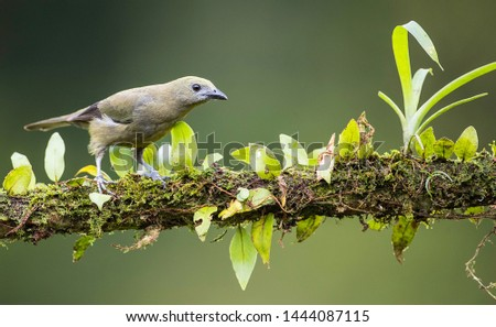 Palm tanager perfectly perched on a beautiful chosen perch #1444087115